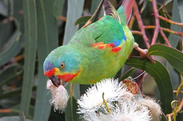 Swift parrot pic