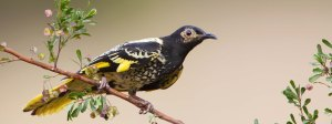 Regent Honeyeater strip